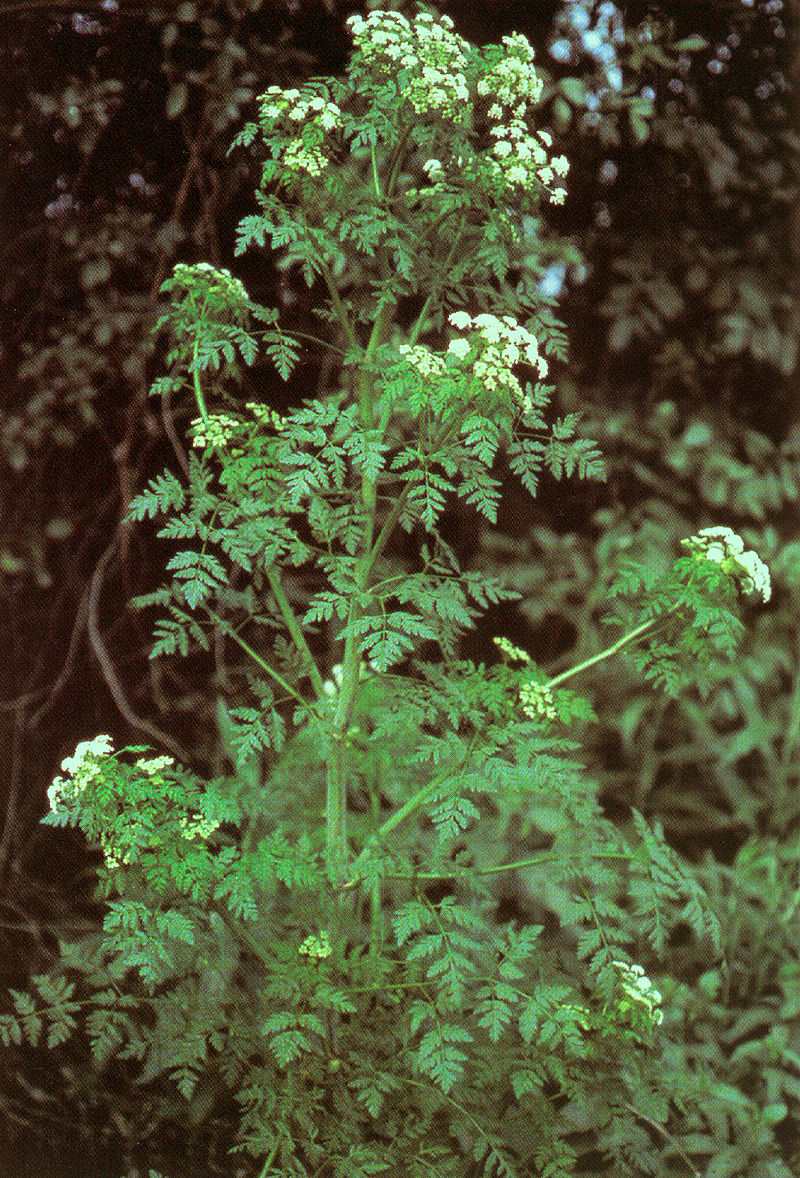 Conium maculatum.jpg