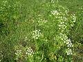 Conium maculatum Hauxley 5.jpg