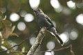 Contopus fumigatus -NW Ecuador-6.jpg