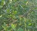 Cooks Tree Boa, Caroni Swamp Trinidad.jpg