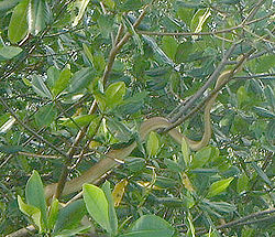 A beige-colored snake slithers on a branch, among leafy vegetation.