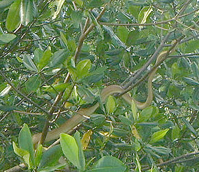 Description de l'image Cooks Tree Boa, Caroni Swamp Trinidad.jpg.