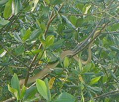 240px cooks tree boa, caroni swamp trinidad
