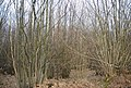 Coppicing, Cooksbroom Wood - geograph.org.uk - 1761090.jpg
