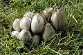 Coprinopsis.atramentaria.-.lindsey.jpg