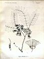 Cordyla africana00.jpg