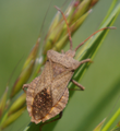 Coreus marginatus -big-.png