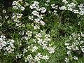 Coriandrum sativum - coriander flower.JPG