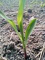 Corn plant (2).jpg