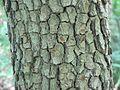 Cornus florida-bark.jpg