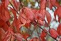 Cornus florida Cherokee Princess 12zz.jpg