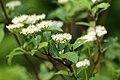 Cornus sericea sericea UL 05.jpg