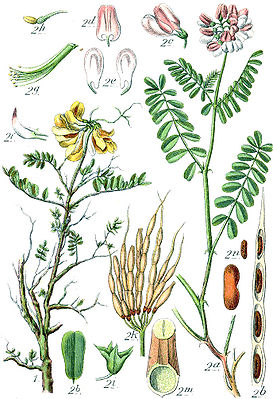 Links: Scheiden-Kronwicke (Coronilla vaginalis) und rechts: Bunte Kronwicke (Securigera varia), Illustration.