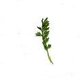 Coronopus didymum leaf (06).jpg