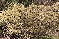 Corylopsis glabrescens floraison 2.jpg