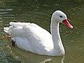 Coscoroba Swan (Coscoroba coscoroba) RWD2.jpg