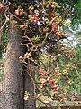 Couroupita guianensis - Cannon Ball Tree at Peravoor (49).jpg