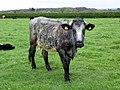 Cow (34098276720).jpg