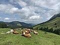 Cows Potersalp.jpg