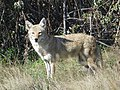 Coyote at Metzter Farm Open Space, Colorado (24468598058).jpg