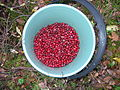 Cranberries in a bucket.JPG