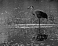 Crane (4317116837).jpg