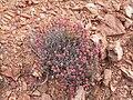 Crassula rupestris in Western Cape, South Africa.jpg