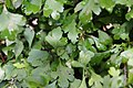 Crataegus spathulata 1zz.jpg