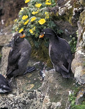 Crested auklet - Pair