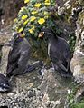 Crested Auklet pair.jpg