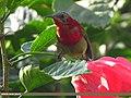 Crimson Sunbird (Aethopyga siparaja) (15893516125).jpg