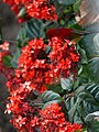 Crimson Sunbird - Aethopyga siparaja - P1080054.jpg