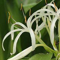 C. asiaticum, strandkrinum