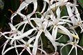 Crinum mauritianum flower.jpg