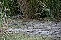 Crocodile, Lake Chamo (3) (29046039042).jpg