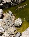 Crocodylus - Crocodiles - Krokodile - 01.jpg