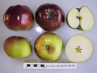 Cross section of Belle-Fleur Large Mouche, National Fruit Collection (acc. 1948-595).jpg