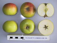 Cross section of Blandurette, National Fruit Collection (acc. 1950-154).jpg
