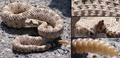 Crotalus cerastes detail.PNG