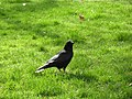 Crow in Berkeley Square Park - panoramio.jpg