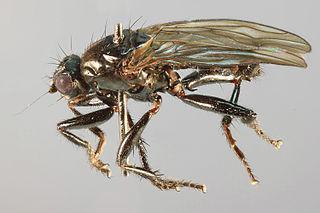 <i>Crumomyia nitida</i> species of insect