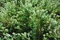 Cryptomeria japonica Japanese Cedar იაპონური კრიპტომერია.JPG