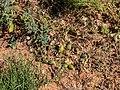 Cucumis melo fruits Burke River floodplain Boulia Queensland P1060644.jpg
