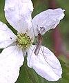 Culex salinarius bramble.jpg