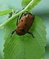 Curious beetle (2699558743).jpg