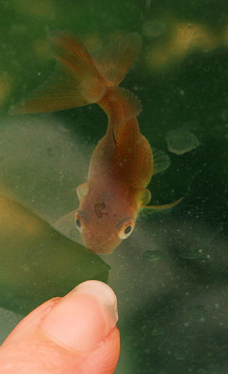 Curled-gill goldfish - Baby bronze fantail goldfish with curled gills.