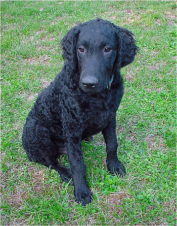 Deutsch: Junger Curly Coated Retriever, Rüde. ...