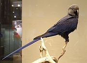 A blue-grey parrot with a brown-gray head
