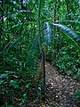 Cycas inermis (Cycadaceae) (48616409463).jpg