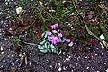 Cyclamen coum under Poncirus branches - Flickr - peganum.jpg